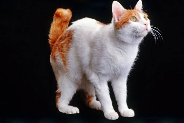 gatto con il mantello bianco e rosso