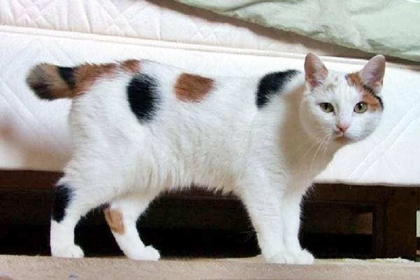 bobtail giapponese ottimo gatto domestico