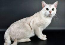 gatto con il pelo argentato