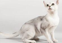 gatto con il pelo color argento