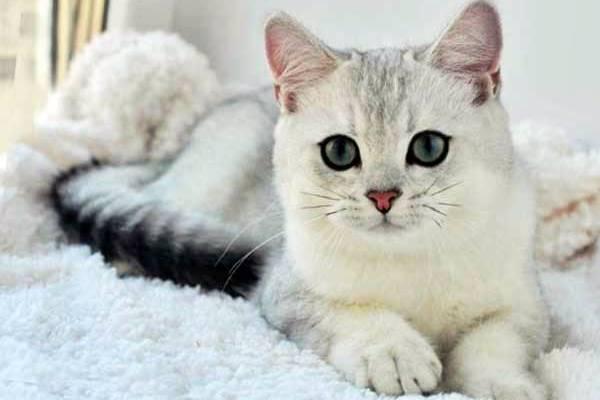 gatto burmilla con il naso color mattone