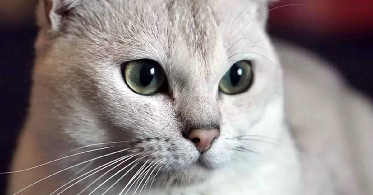 occhi dolci del gatto