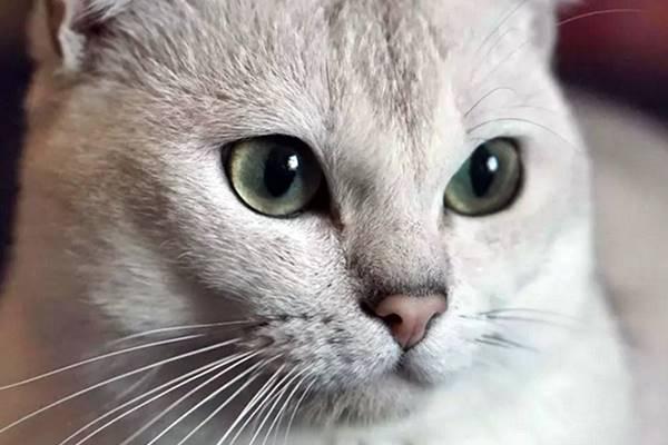 caratteristiche del muso del gatto