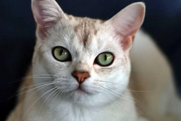gatto con il naso color mattone