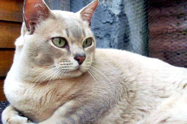 gatto burmilla color crema
