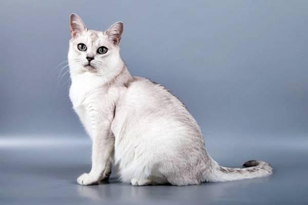 gatto a pelo bianco con sfumature argento