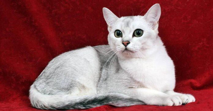 esemplare di gatto burmilla