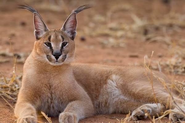 gatto selvatico che riposa