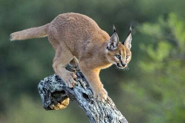 caracal che si arrampica su un ramo