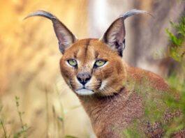 gatto selvatico che vive in africa e in asia