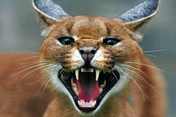 gatto che mostra i denti
