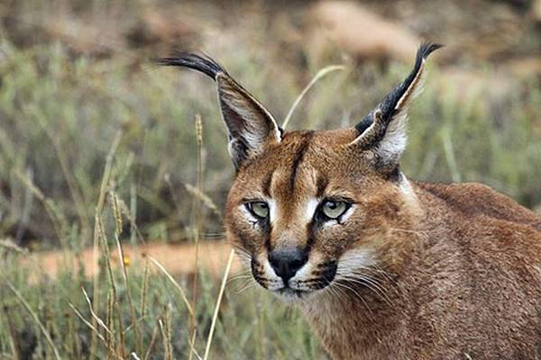 gatto selvatico che vive nel deserto