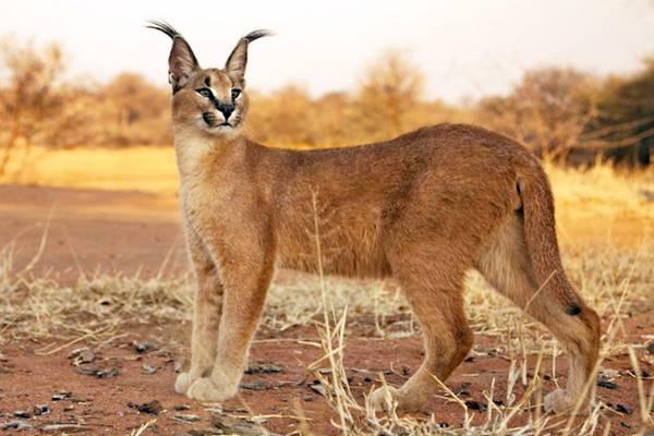 gatto selvatico con il mantello rosso