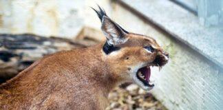 gatto selvatico che attacca l'uomo