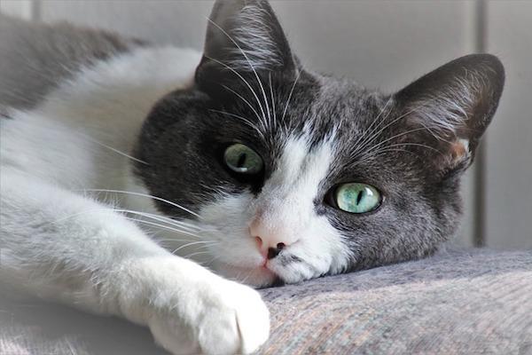 gatto che vuole le coccole