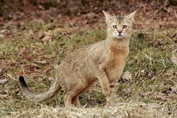 chausie gatto dall'aspetto selvatico