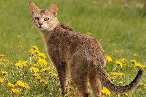 gatto chausie in mezzo ai fiori