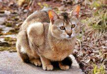 gatto di grandi dimensioni