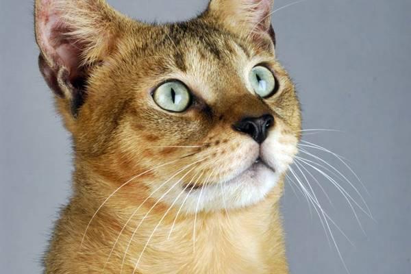 sguardo del gatto chausie