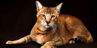 gatto ibrido tra felino selvatico e domestico