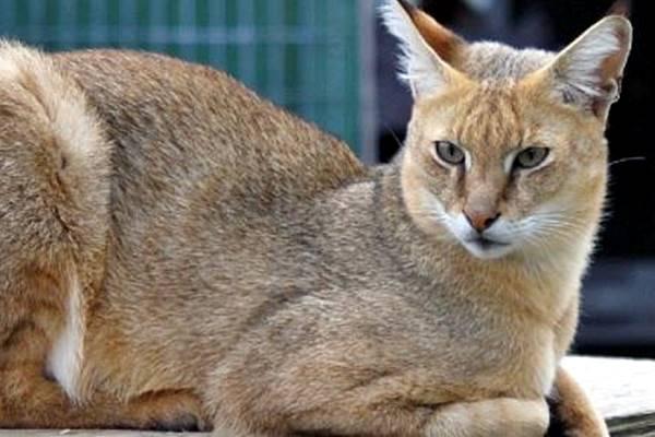 gatto di medie dimensioni