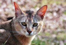 gatto dall'aspetto selvatico