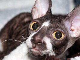 sguardo tenero del gatto
