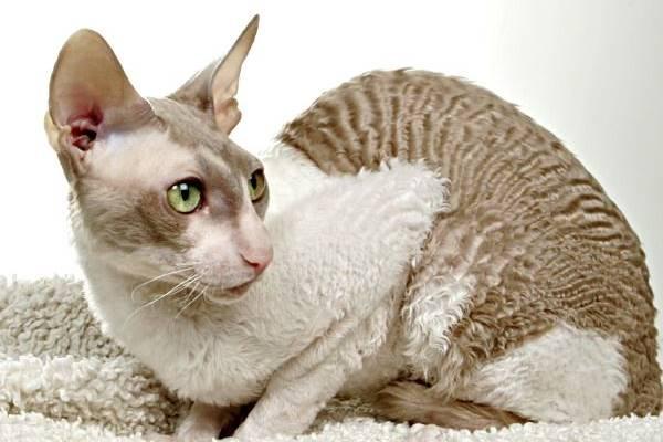 gatto con la pelle molto delicata