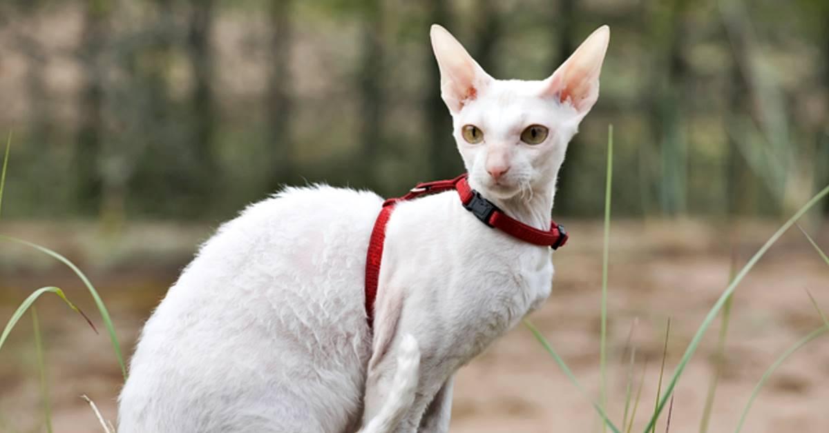 gatto a pelo cortissimo di colore bianco