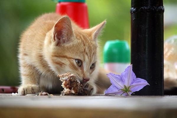 gattino rosso mangia fiore