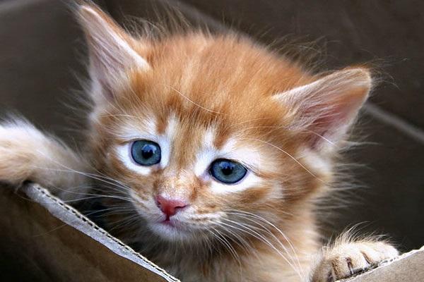 gattino rosso tigrato