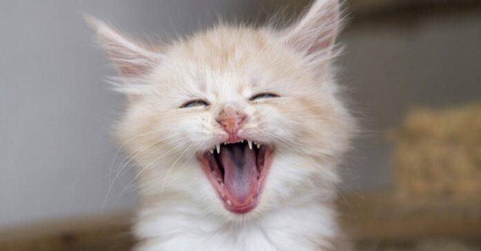 gattino che sbadiglia
