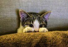gattino dietro le coperte