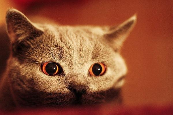 gatto con occhi rossi