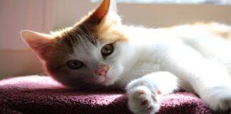 gattino sordo osserva padrone