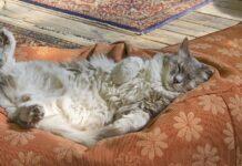 Gatto che dorme a pancia in su