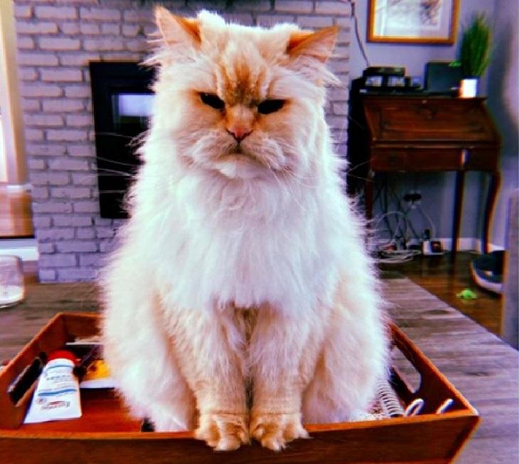 blake gatto persiano espressione