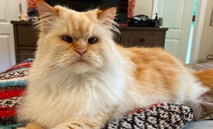 blake gatto persiano richieste