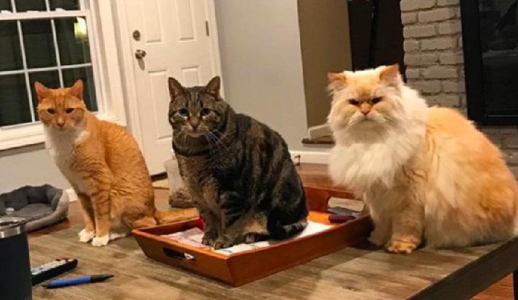 blake gatto persiano giornate