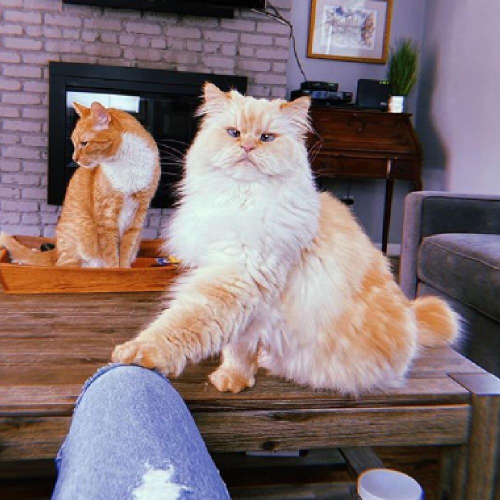 blake gatto persiano linguaggio