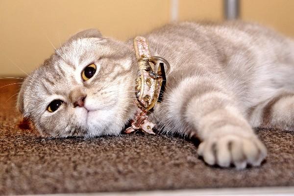 gatto con il collare
