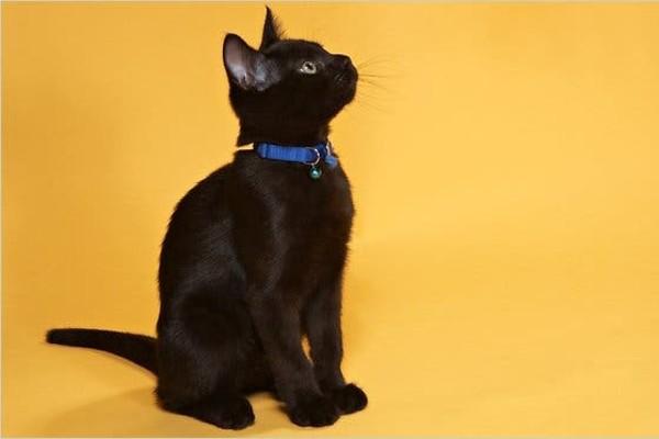 gattino con il collare