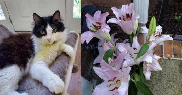 gatto curioso rischia vita causa giglio
