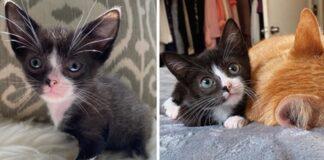 gattino con orecchie lunghe