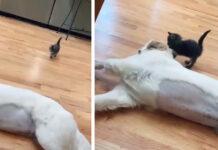 Gattino con un cane