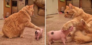 Gattino con un maialino