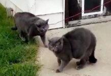 Due gattini simili