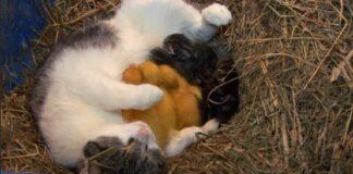 mamma gatta gattini paperelle