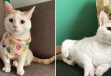 Gatto bianco con zampe deformi