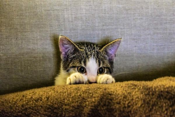 gatto graffia tende